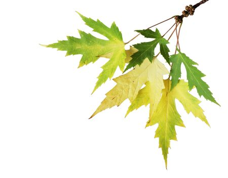silver maple: branch of silver maple changing color in the fall