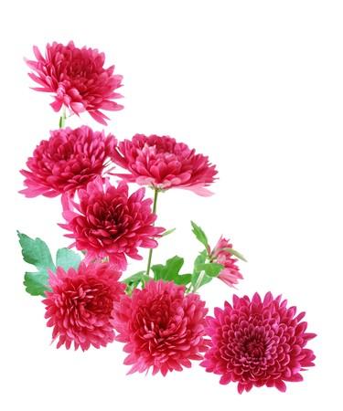 Group of hardymum chrysanthemum flower isolated on white background Stock Photo - 4247184