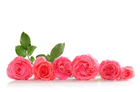 Bunch of pink roses isolated on white photo