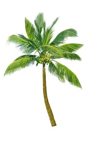 白で隔離されるデザイン要素ココナッツ ツリー