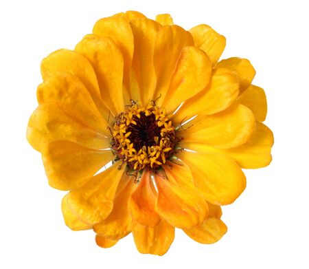 Single yellow flower head isolated on white Stock Photo