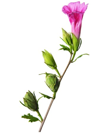 rosemallow: Hibiscus fiore, gemma e frutta isolato su bianco