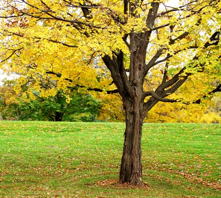 nostalgy: Single yellow maple tree in the park Stock Photo