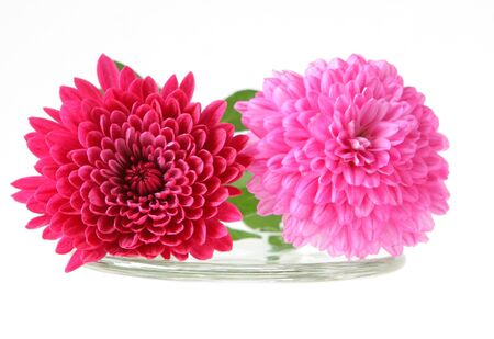 hardy: pink and red hardy mum flowers isolated on white