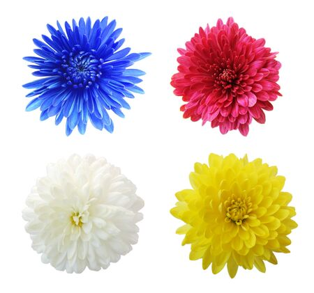 aster flowers: Set of four aster mum flower heads, isolated on white
