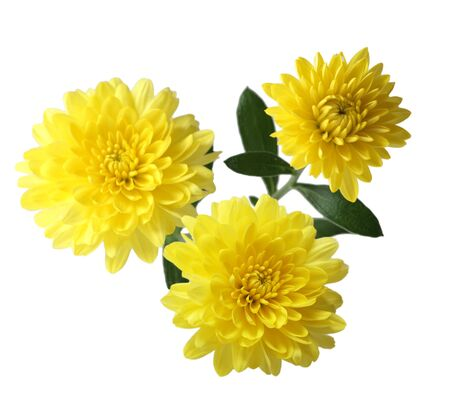 hardy: Three yellow hardy aster mum flowers isolated on white