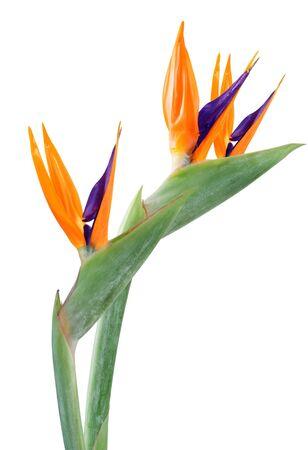 Verse paradijsvogel bloemen op wit wordt geïsoleerd Stockfoto