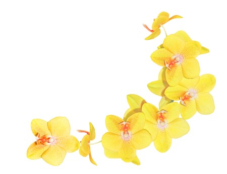 pink orchid: Bunch of yellow orchid flowers over white background Stock Photo