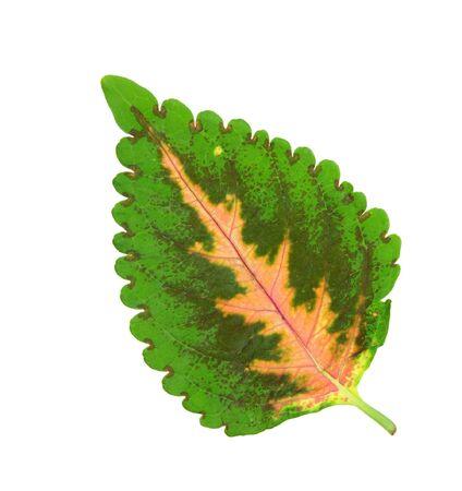 solenostemon coleus leaf isolated on white background
