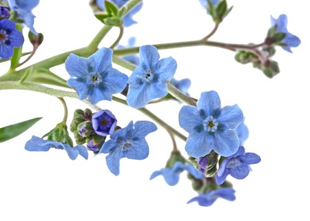 not to forget: Branch of forget me not flowers isolated on white