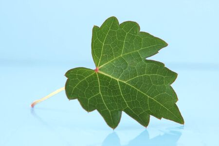 Single green leaf reflecting on blue background