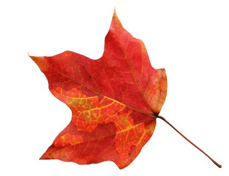 Fresh red maple isolated on white background Stock Photo - 4248628