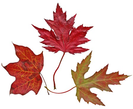 Three maple leaves isolated on white background Stock Photo - 4248993