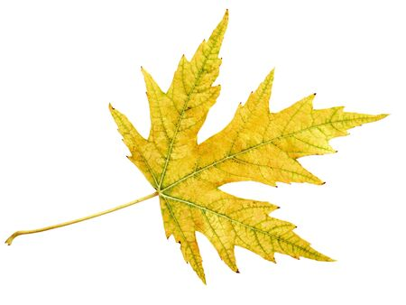 Single silver maple leaf isolated on white