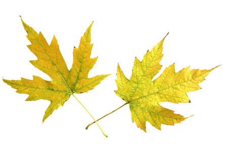 silver maple: Two silver maple in yellow color isolate on white