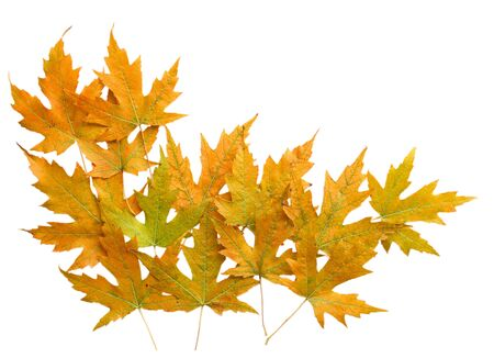 silver maple: Autumn silver maple leaves isolated for background