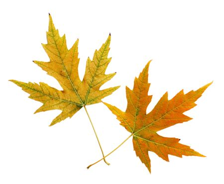 silver maple: Two silver maple leaves in the fall