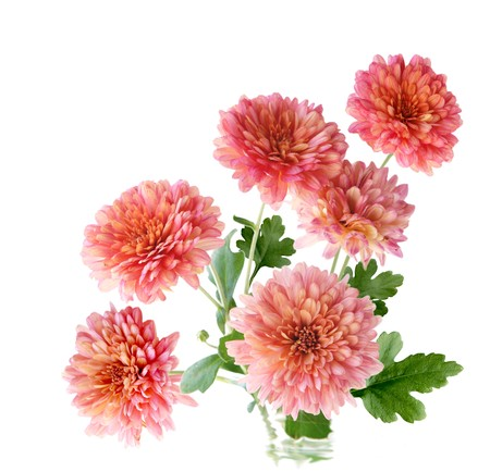 hardy: Bunch of pink hardy mum flower isolated on white