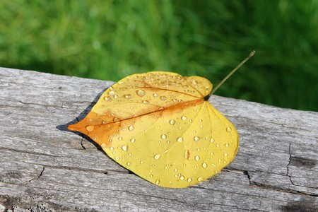 Redbud leaf with morning dew on a rotten wood photo