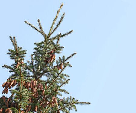青い空に分離された円錐形の松とバルサムもみの針葉樹の木 写真素材