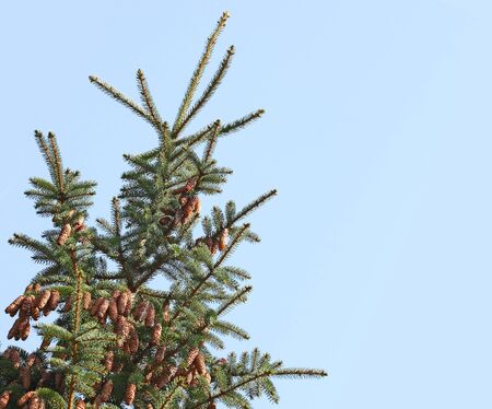 Balsam fir coniferous tree with pine cone isolated on blue sky 免版税图像 - 4249092