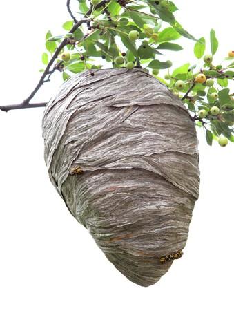 hive: Beehive se cierne sobre una rama de cerezo aisladas en blanco Foto de archivo