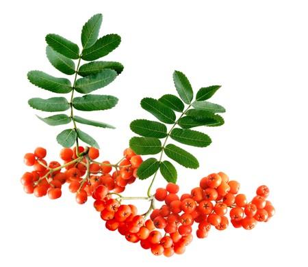 Fresh rowan berry isolated on white background