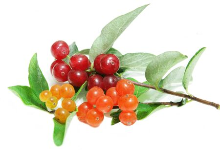 Two branches of different colors of small wild honeysuckle berry fruit  isolated on white background photo