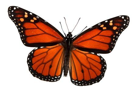 モナーク蝶の分離白、パス 写真素材