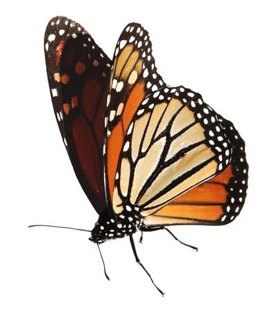 살아있는 바둑 나비 화이트, 절연 경로