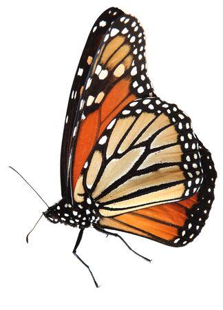 生きている君主蝶の分離白、パス