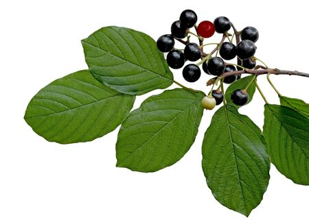 buckthorn: Black berry buckthorn branch and leaf isoalted on white backround