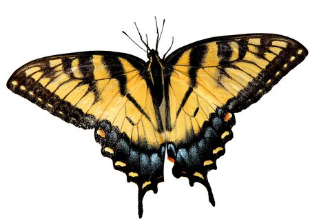 Easter Tiger Swallowtail Butterfly opening wings isolated on white background with path included