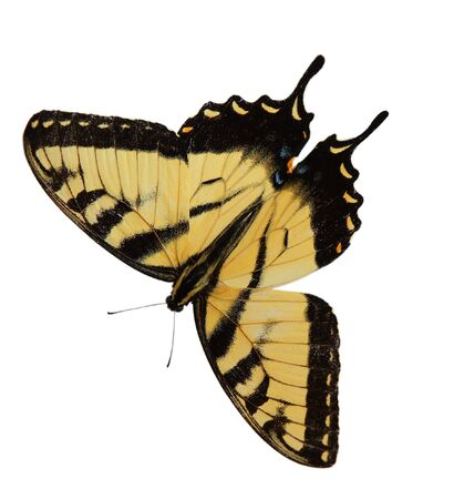 Easter Tiger Swallowtail Butterfly opening wings isolated on white background Stock Photo
