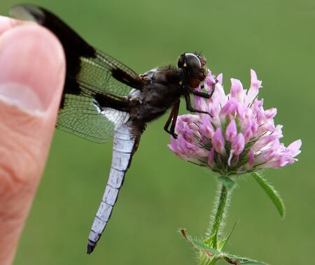 red clover: Black white dragonfly catching a red clover flower then being catched