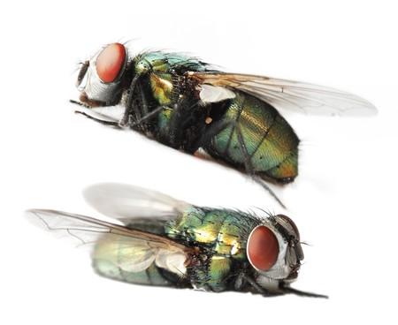 Blue bottle fly isolated on white background 版權商用圖片