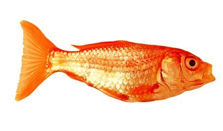 Fresh Small goldfish isolated on white background Stock Photo - 4246646
