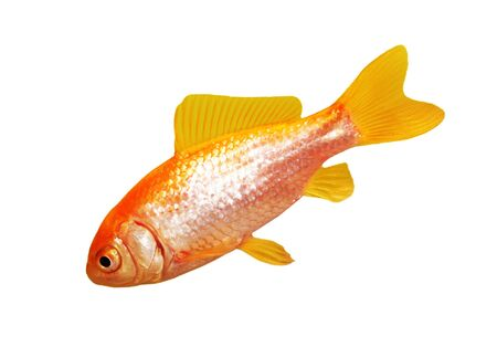Single gold fish isolated on white background path included Stock Photo - 4246486