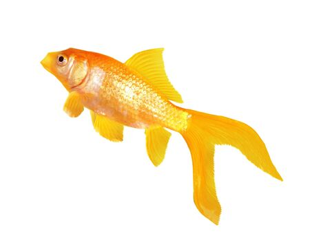 Single gold fish isolated on white background Stock Photo - 4246478