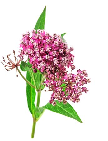 Milkweed flowers and leaves, isolated on white background