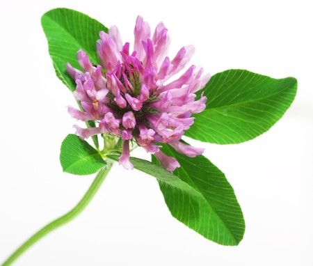 red clover:  Trifolium pratense Red clover flower and leaves isolated on white background