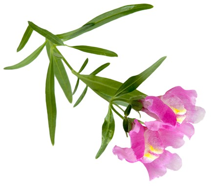 snapdragon: Pink snapdragon flowers, isolated on white background