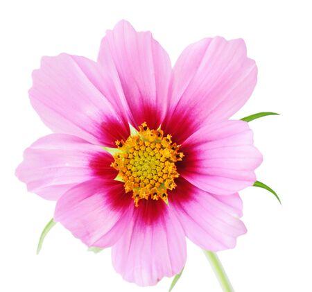 sonata: Single sonata flower, isolated on white background