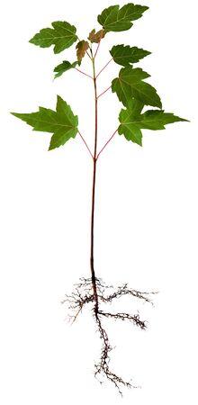Junge Ahorn Baum mit Wurzel, isoliert auf weißem Standard-Bild - 4267812