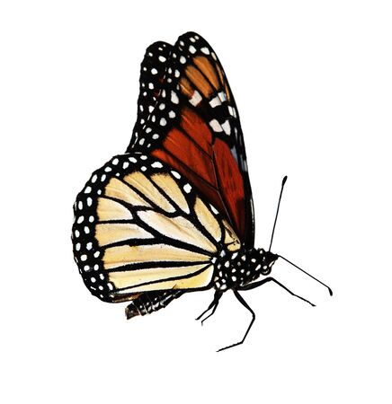 Close-up Monarch butterfly isolated on white background, path included