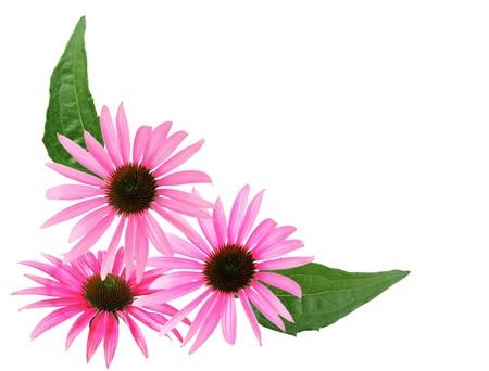 dicot: Pink coneflower testa isolati su bianco