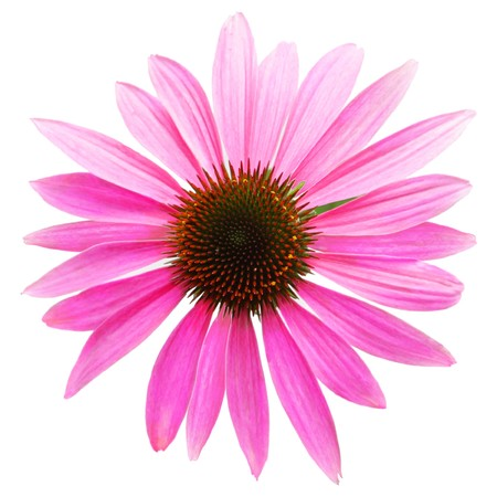 Pink coneflower head, isolated on white background, path included photo