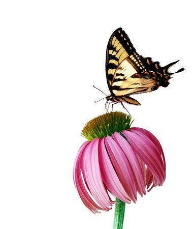 papillon rose: Est Tiger papillon du c�leri et coneflower isol� sur fond blanc
