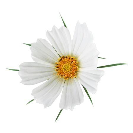 White sonata cosmos flower head isolated on white background photo