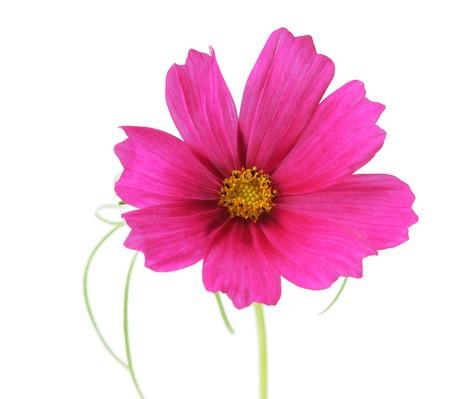 sonata: Single cosmos sonata flower isolated on white